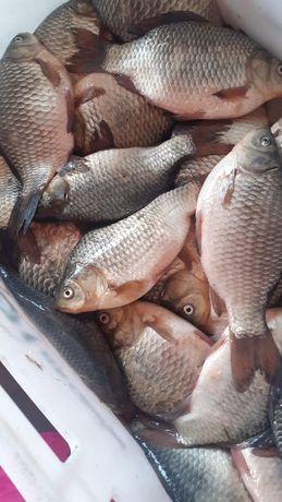 Рыба оптом карась жёлтый 230