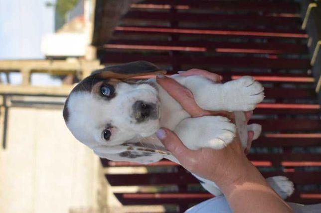 Beagle tricolor ,  10 saptamani , female