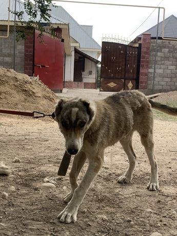 Нашли щенка порода алабай