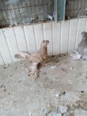 Продам голубей шымкент