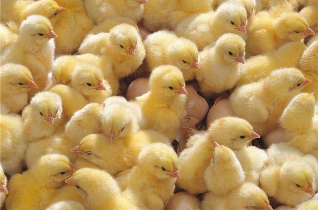 Двухнедельные цыплята: бройлеры, ломан брауны, кучинские юбилеи, кобб