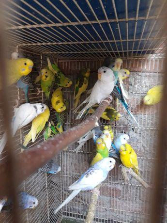 papagali si colivi