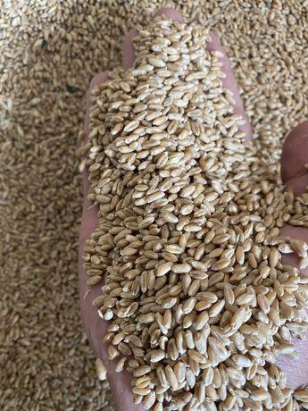 Зерно пшеница бидай оптом