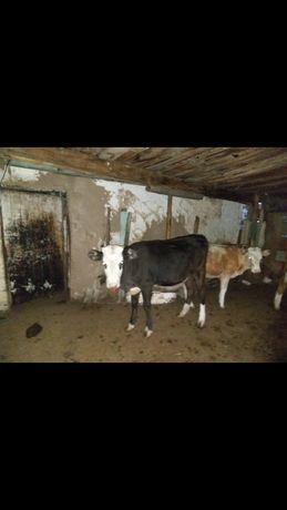 Продам корову стелная