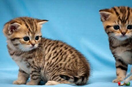 Британские котята тигрушки