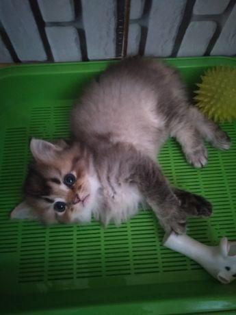 Британский котик шиншила