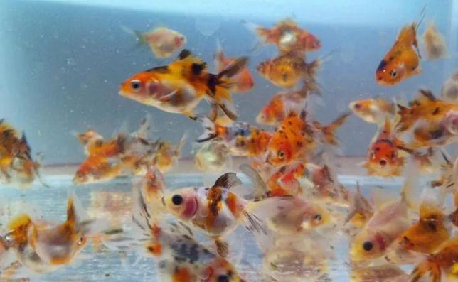 Ситцевые золотые рыбки