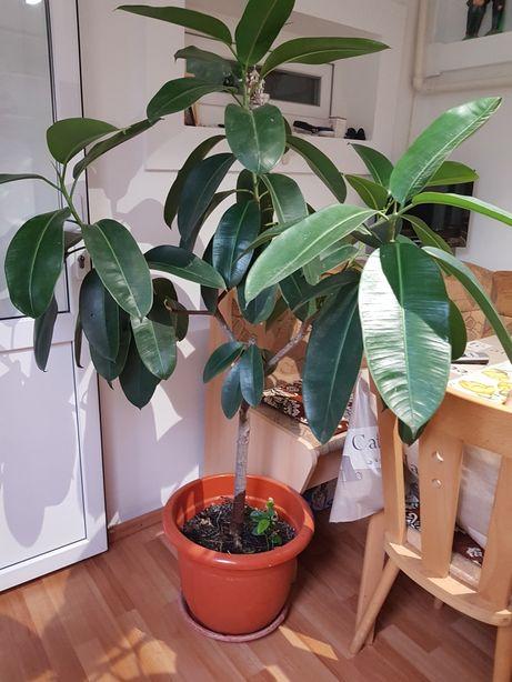 Plantă de interior Ficus ! Superbă