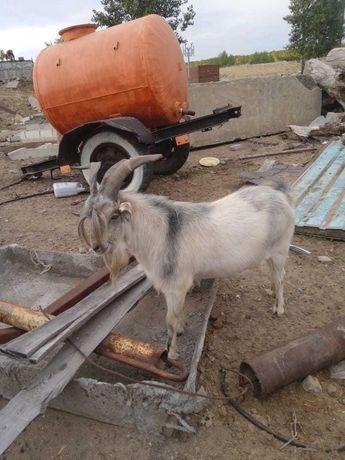 Молодой козёл 1,5 года