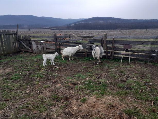 Vînd doua capre una ie fatata la adoua fatare si una trebuie sa fete