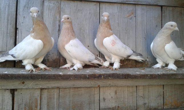 Продаю голубей породы Такла.