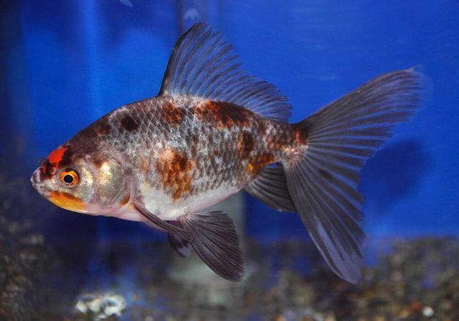 Ситцевая золотая рыбка