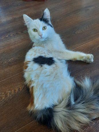 Трехцветную кошку в хорошие руки