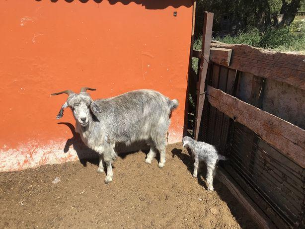 Продам козу с козленком