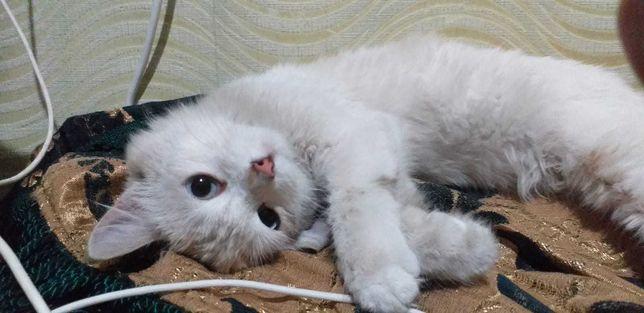 отдам нежную сиамскую кошку, стерилизована
