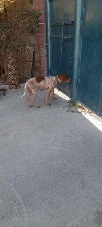 Щенок охотник девочка 5 месяца порода Кунхаунд