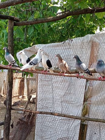 Porumbei voiajori Vaslui