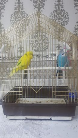 Продам пара Попугаев