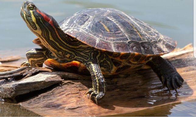 Красноухая водяная черепаха