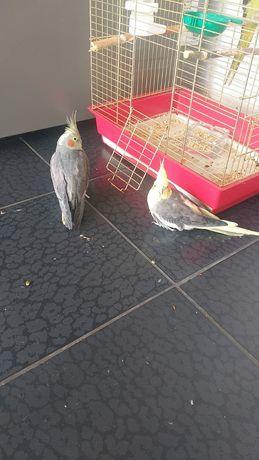 Продам двух попугаев