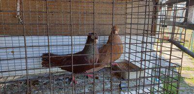 Продавам гълъби