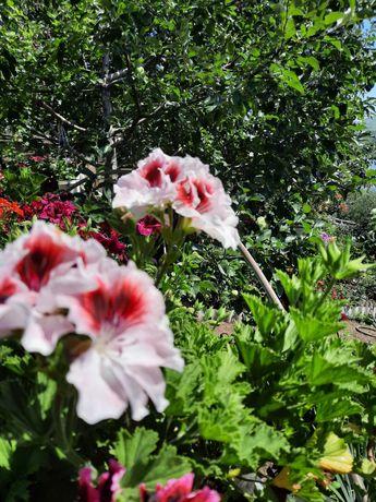 элитные  цветы .для души и украшения дома