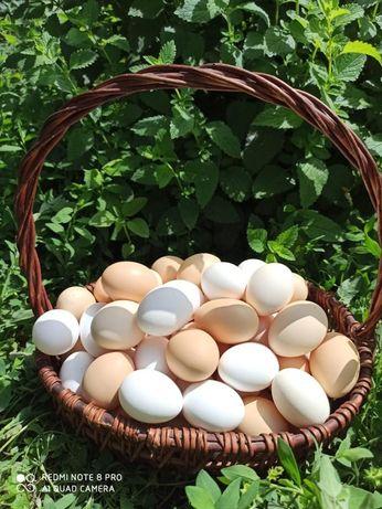 Домашнии куринные  яйцо