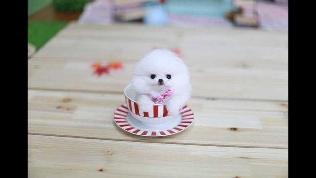 Pomeranian mini toy de rasa pura!talie mica !