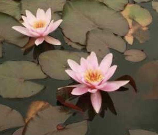 Нимфея, кувшинка розовая