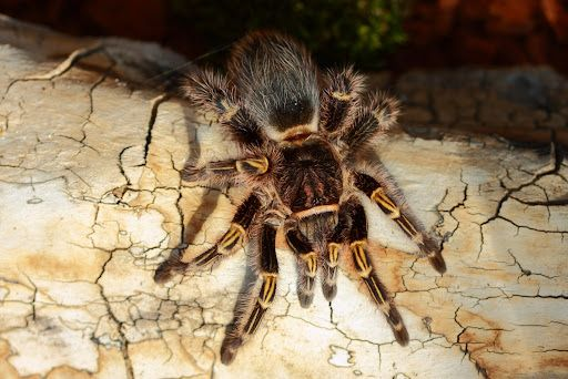 Самка паука птицееда