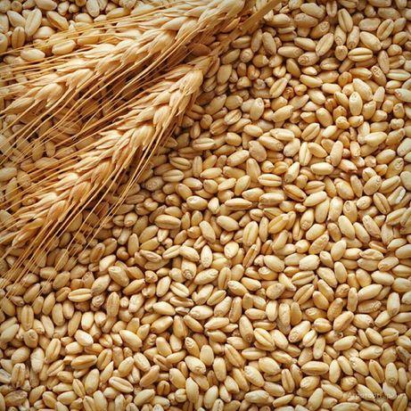 Пшеница. 90 тенге. Чистая, веянная.