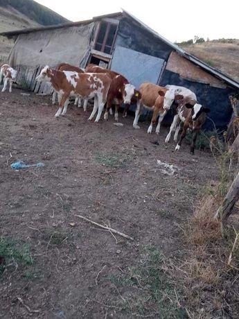 Vând vitele baltata romaneasca cu origine pentru prasila