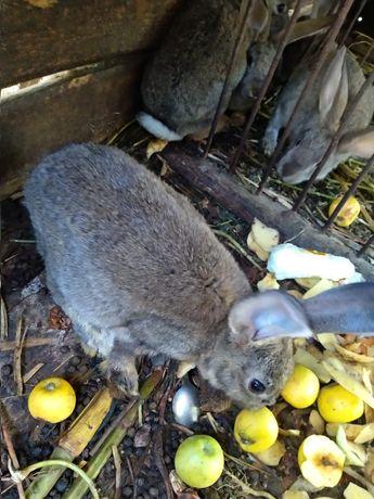 Продам кроликов, домашние