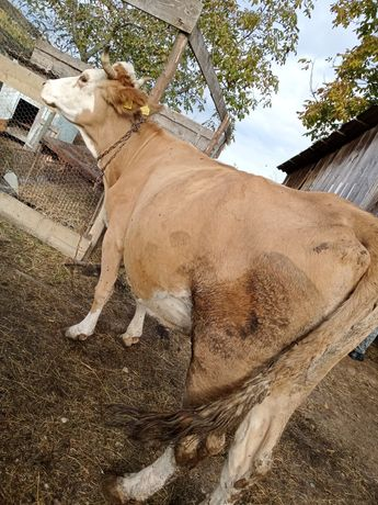 Vaca de 7 ani blândă