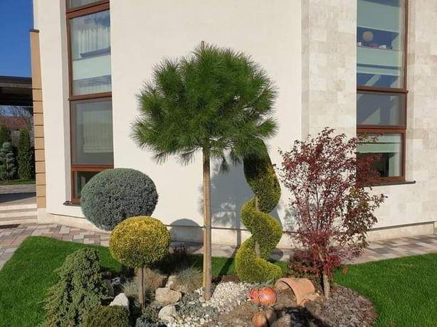 Plante ornamentale,tuia smaragd,leylandi,glob,ienuper,magnolie,pisardi