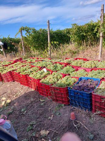 Vând struguri de vin  direct de la producător