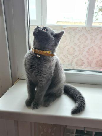 Британский короткошёрстная кошка