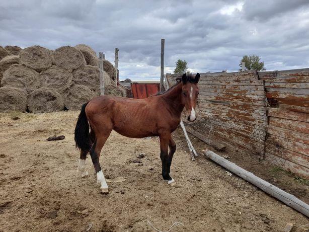 ТАЙ САТЫЛАДЫ лошадь Жуас жылкы тай