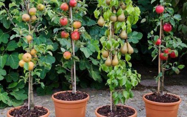 Pomi columnari anul 2 calitatea 1