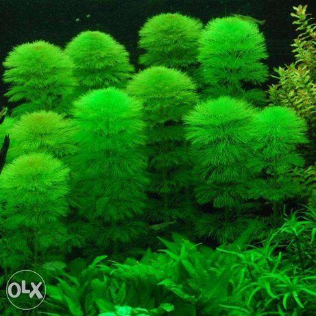 planta acvariu pesti Cabomba,Moss,,anubias..