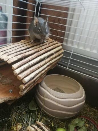 Donez veverițe degu