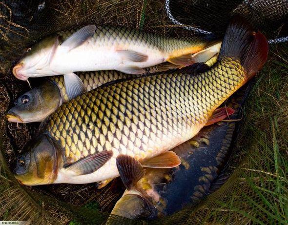 Продается рыба сазан свежий сегодня поступил
