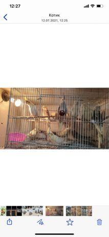 Попугай Корела