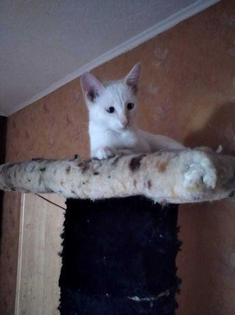Отдам котенка беленький приученный к лотку  в подарок лоток