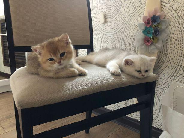 Продам котят Шотландская шиншилла