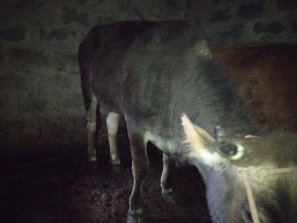 Продаем корову, сиыр сатамыз