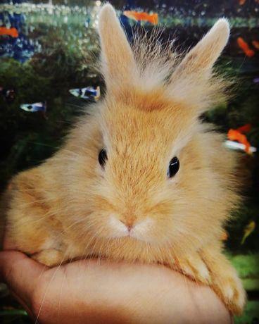 ЛьвиноГоловик Крольчонок