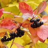 Alune.Nuci Suc Aronia.Cires/gisela.coacaze,afin,aluni,magnolie,FAN>RO