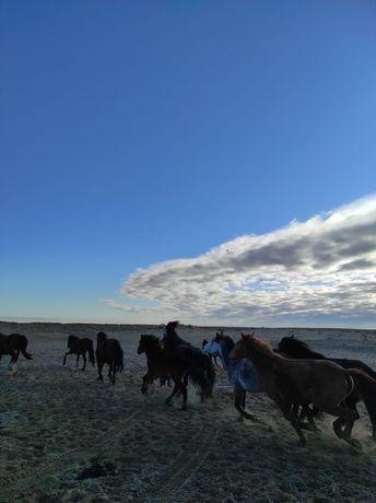 Лошади Байтал с жеребеноком