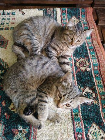 Котята охотницы мышеловы, приучены к лотку, бесплатно